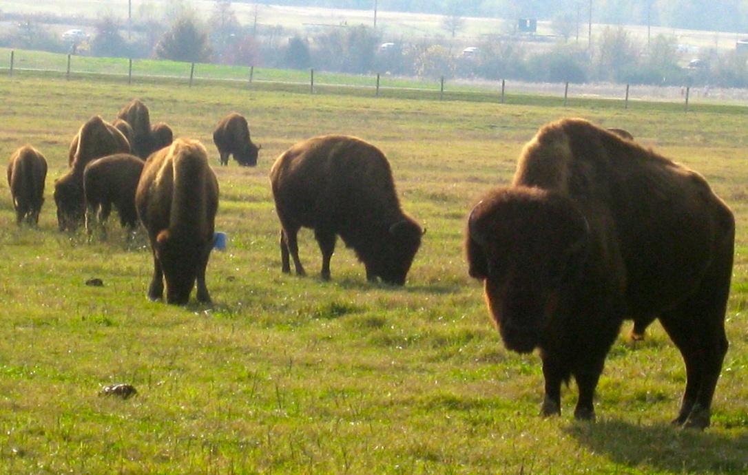 Buffalo were an unexpected sight in Memphis.
